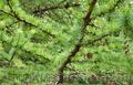 Продам саженцы Листвиницы и много других растений (опт от 1000 грн). - Изображение #5, Объявление #1563010