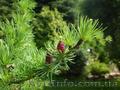 Продам саженцы Листвиницы и много других растений (опт от 1000 грн). - Изображение #6, Объявление #1563010