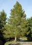 Продам саженцы Листвиницы и много других растений (опт от 1000 грн). - Изображение #7, Объявление #1563010
