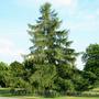 Продам саженцы Листвиницы и много других растений (опт от 1000 грн). - Изображение #8, Объявление #1563010