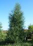 Продам саженцы Листвиницы и много других растений (опт от 1000 грн). - Изображение #9, Объявление #1563010