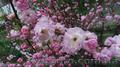 Продам саженцы Луизеании и много других растений (опт от 1000 грн).  - Изображение #7, Объявление #1563019