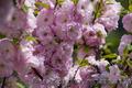 Продам саженцы Луизеании и много других растений (опт от 1000 грн). , Объявление #1563019