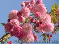 Продам саженцы Луизеании и много других растений (опт от 1000 грн).  - Изображение #2, Объявление #1563019