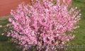 Продам саженцы Луизеании и много других растений (опт от 1000 грн).  - Изображение #3, Объявление #1563019