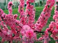 Продам саженцы Луизеании и много других растений (опт от 1000 грн).  - Изображение #5, Объявление #1563019