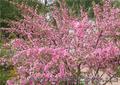 Продам саженцы Луизеании и много других растений (опт от 1000 грн).  - Изображение #6, Объявление #1563019