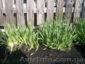 Продам луковицы Лука слезуна и много других растений (опт от 1000 грн) - Изображение #2, Объявление #1563290