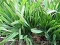 Продам луковицы Лука слезуна и много других растений (опт от 1000 грн) - Изображение #3, Объявление #1563290