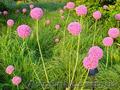 Продам луковицы Луки Раннецветущие и много других растений (опт от 1000 грн), Объявление #1563291