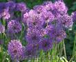 Продам луковицы Луки Раннецветущие и много других растений (опт от 1000 грн) - Изображение #2, Объявление #1563291
