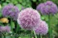 Продам луковицы Луки Раннецветущие и много других растений (опт от 1000 грн) - Изображение #3, Объявление #1563291