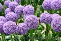 Продам луковицы Луки Раннецветущие и много других растений (опт от 1000 грн) - Изображение #4, Объявление #1563291