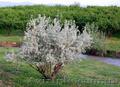 Продам Маслину Дикую в горшках и много других растений (опт от 1000 грн)., Объявление #1563301