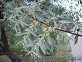 Продам Маслину Дикую в горшках и много других растений (опт от 1000 грн). - Изображение #2, Объявление #1563301