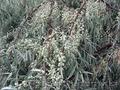 Продам Маслину Дикую в горшках и много других растений (опт от 1000 грн). - Изображение #4, Объявление #1563301