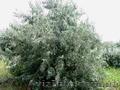 Продам Маслину Дикую в горшках и много других растений (опт от 1000 грн). - Изображение #5, Объявление #1563301