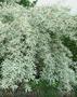 Продам Маслину Дикую в горшках и много других растений (опт от 1000 грн). - Изображение #6, Объявление #1563301