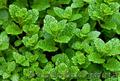 Продам деленки Мяты и много других растений (опт от 1000 грн) - Изображение #10, Объявление #1564262