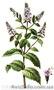 Продам деленки Мяты и много других растений (опт от 1000 грн), Объявление #1564262