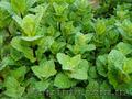 Продам деленки Мяты и много других растений (опт от 1000 грн) - Изображение #6, Объявление #1564262