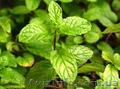 Продам деленки Мяты и много других растений (опт от 1000 грн) - Изображение #7, Объявление #1564262