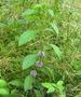 Продам деленки Мяты и много других растений (опт от 1000 грн) - Изображение #8, Объявление #1564262