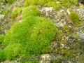 Продаем мох для озеленения притененных участков и много других растений - Изображение #2, Объявление #1564243