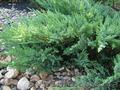 Продаем хвойные в ассортимете и много других растений (опт от 1000 грн)