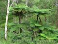 Продам Папоротник (Древовидный) и много других растений (опт от 1000 грн), Объявление #1564297