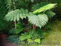 Продам Папоротник (Древовидный) и много других растений (опт от 1000 грн) - Изображение #2, Объявление #1564297