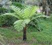 Продам Папоротник (Древовидный) и много других растений (опт от 1000 грн) - Изображение #3, Объявление #1564297