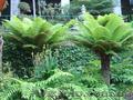 Продам Папоротник (Древовидный) и много других растений (опт от 1000 грн) - Изображение #4, Объявление #1564297
