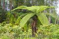 Продам Папоротник (Древовидный) и много других растений (опт от 1000 грн) - Изображение #6, Объявление #1564297