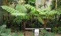 Продам Папоротник (Древовидный) и много других растений (опт от 1000 грн) - Изображение #8, Объявление #1564297