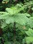Продам Папоротник (Древовидный) и много других растений (опт от 1000 грн) - Изображение #9, Объявление #1564297