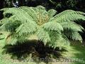 Продам Папоротник (Древовидный) и много других растений (опт от 1000 грн) - Изображение #10, Объявление #1564297