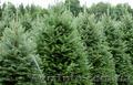Продам Пихту (хвойное) и много других растений (опт от 1000 грн), Объявление #1564319