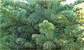 Продам Пихту (хвойное) и много других растений (опт от 1000 грн) - Изображение #2, Объявление #1564319