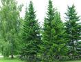 Продам Пихту (хвойное) и много других растений (опт от 1000 грн) - Изображение #4, Объявление #1564319