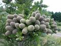 Продам Пихту (хвойное) и много других растений (опт от 1000 грн) - Изображение #5, Объявление #1564319