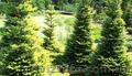 Продам Пихту (хвойное) и много других растений (опт от 1000 грн) - Изображение #6, Объявление #1564319