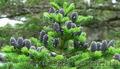 Продам Пихту (хвойное) и много других растений (опт от 1000 грн) - Изображение #7, Объявление #1564319