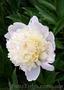 Продам саженцы Пиона и много других растений (опт от 1000 грн).  - Изображение #2, Объявление #1564310