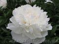 Продам саженцы Пиона и много других растений (опт от 1000 грн).  - Изображение #3, Объявление #1564310