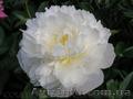 Продам саженцы Пиона и много других растений (опт от 1000 грн).  - Изображение #4, Объявление #1564310