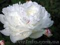 Продам саженцы Пиона и много других растений (опт от 1000 грн).  - Изображение #5, Объявление #1564310