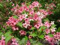 Продам саженцы Вейгелы и много других растений (опт от 1000 грн), Объявление #1562577