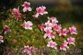 Продам саженцы Вейгелы и много других растений (опт от 1000 грн) - Изображение #2, Объявление #1562577