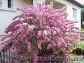 Продам саженцы Вейгелы и много других растений (опт от 1000 грн) - Изображение #3, Объявление #1562577